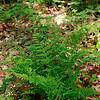 Cystopteris protrusa- Lowland Fragile Fern