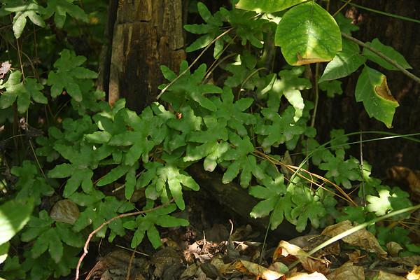 Lygodium palmatum
