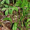 Ophioglossum vulgatum var. pycnostichum- Southern Adder's Tongue
