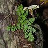 Woodsia obtusa (Blunt-lobed Woodsia)
