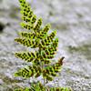 Woodsia obtusa-Blunt-lobed Cliff Fern