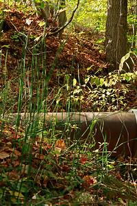 Equisetum hyemale- Scouring Rush
