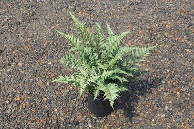 Fern, Athyrium niponicum 'Red Beauty' #1