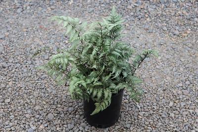 Fern, Athyrium niponicum 'Pictum' - Japanese Painted #1