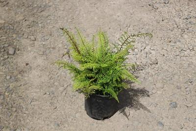 Fern, Polystichum setiferum - Soft Shield #1 (3)