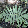 "Sensitive Fern fully opened <br /> Onoclea sensibilis<br /> Dryopteridaceae<br /> These like moist areas of rich black loamy soil.  Notice how much simpler the leaf form is on these compared to Marginal Wood Fern? On the degrees of frond dissection these are much less cut. They are ""pinnately"" divided and the edges of the leaves are ""smooth"" instead of toothed.  These have only ruffles down the leaf sides. This is another way ferns are ID'd. <br /> This one is along Little Brier Gap Trail. These can grow to be huge. <br /> GSMNP TN 5/09"