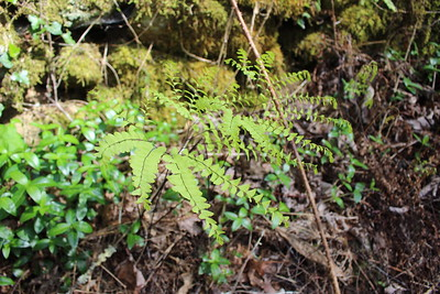 Maidenhair Fern Adiantum pedatum Cucumber Gap Trail  Great Smoky Mountains National Park TN