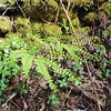 Maidenhair Fern<br /> Adiantum pedatum<br /> Cucumber Gap Trail <br /> Great Smoky Mountains National Park TN