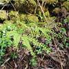 Maidenhair Fern<br /> Adiantum pedatum<br /> Cucumber Gap Trail <br /> Great Smoky Mountains National Park TN