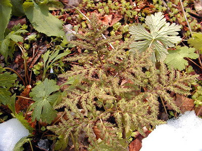 Cutleaf Grape Fern --sterile frond. Per Alan Cressler. (Thanks Alan)  found growing along the Porters Creek Trail in the Great Smoky Mountains, TN