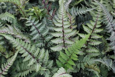 Fern, Athyrium niponicum 'Red Beauty'
