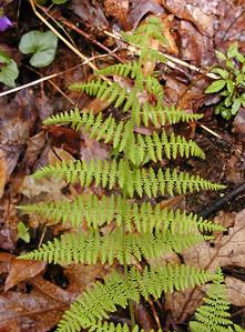 Mountain Wood Fern along Walton Trail Dryopteris campyloptera Dryopteridaceae Alarka Laurel Nantahala National Forest, NC 5/8/09