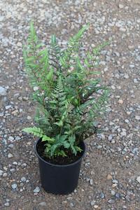 Fern, Athyrium niponicum 'Red Beauty' #1 (2)