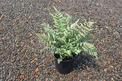 Fern, Athyrium niponicum 'Silver Falls' #1 (8-3-17) (2)