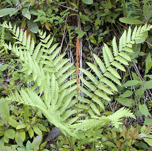 Cinnamon Fern <br /> Osmunda cinnamomea<br /> Osmundacea<br /> Alarka, NC<br /> 6/5/07