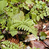 Lowland Brittle Fern along Porters Creek Trail<br /> Cystopteris protrusa<br /> Dryopteridaceae<br /> GSMNP TN 4/09