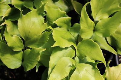 Fern, Crytomium macrophyllum - Big Leaf Holly
