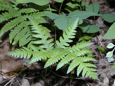 "Broad Beech Fern--Dan and I saw lots of these unfurling along Beard Cane Creek Trail and weren't sure what species they were! On this trip along the manway I found the ferns in many stages so I was able to tell. Interestingly this is in the Marsh fern family.  A ""marsh"" is supposed to be a wetland without trees, but that is certainly not the case here.  The forest here is very moist with too many trees to count. Phegopteris  hexagonoptera Thelypteridaceae Blount Co. TN 5/09"