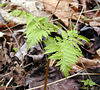 Rattlesnake Fern (Botrychium virginianum)<br /> Ophioglossaceae<br /> Whiteoak Sink<br /> April 3 2007<br /> GSMNP