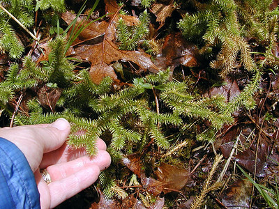 Foxtail Club Moss along Walton Trail near the Shining Club Moss. Though they look similar and are related they are different species. This is a bog club moss.  Lycopodiella alopecuroides Lycopodiaceae Another fern allie Alarka Laurel  Nantahala National Forest, NC 5/8/09