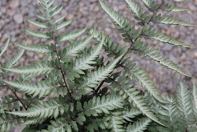 Fern, Athyrium niponicum 'Silver Falls' #1