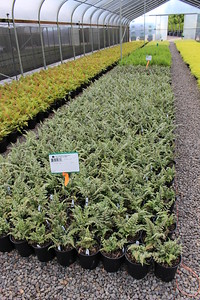 Fern, Athyrium niponicum 'Silver Falls' #1 (3)