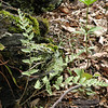 Some sort of lip fern.