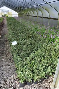 Fern, Athyrium niponicum 'Pictum' - Japanese Painted  #1 -- Geranium 'Rozanne' #1