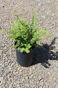 Fern, Dryopteris affinis 'Cristata the King' #1 (2)