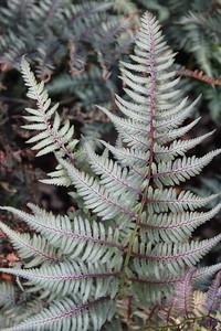 Fern Athyrium niponicum 'Metallicum' #1