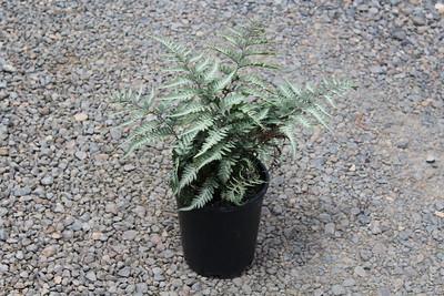 Fern, Athyrium niponicum 'Silver Falls' #1 (2)