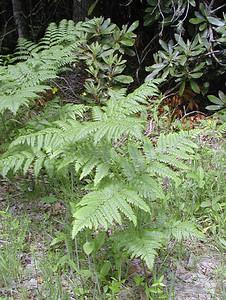 Bracken Fern  Pteridium aquilinum Dennstaedtiaceae Alarka, NC 6/08