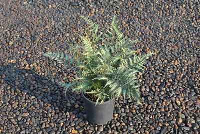 Fern, Athyrium niponicum 'Metallicum' #1