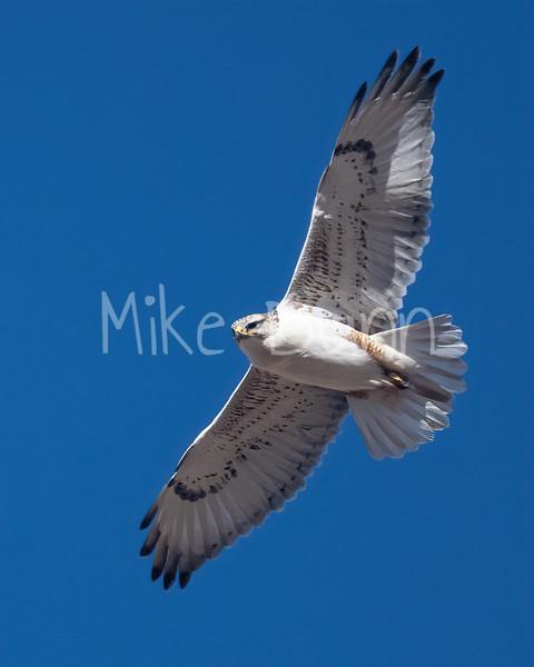 Ferruginous Hawk-196