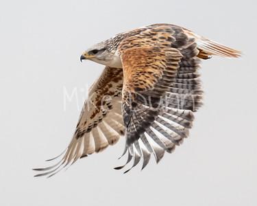 Ferruginous Hawk-144