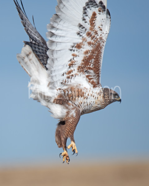 Ferruginous Hawk-122