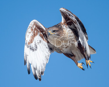 Ferruginous Hawk-187
