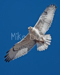 Ferruginous Hawk-202