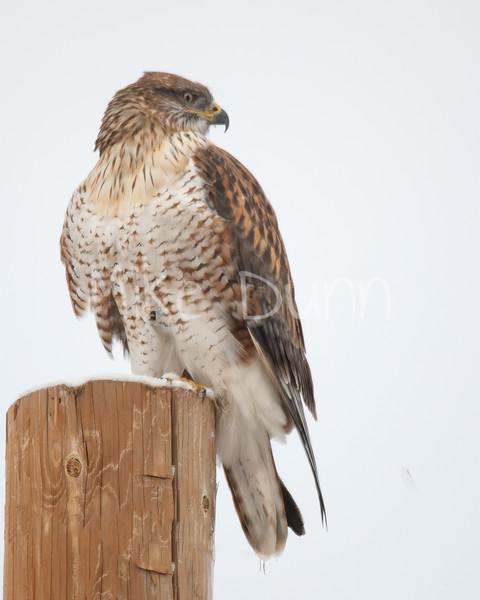 Ferruginous Hawk-114