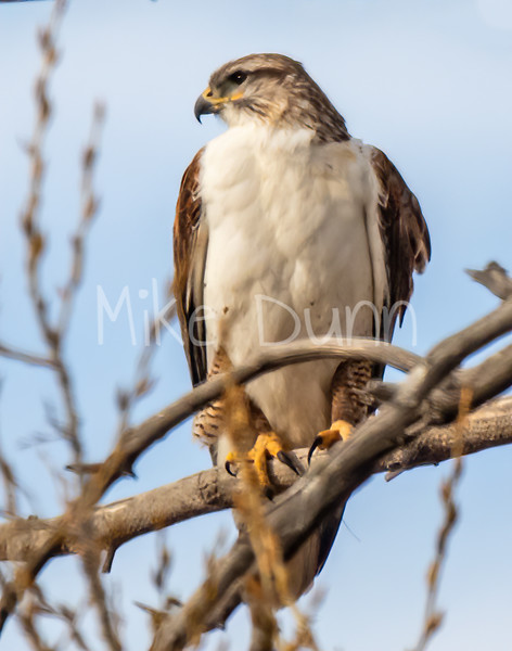 Ferruginous Hawk-140