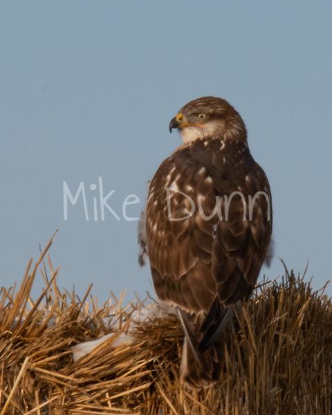 Ferruginous Hawk-30