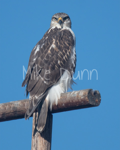 Ferruginous Hawk-117