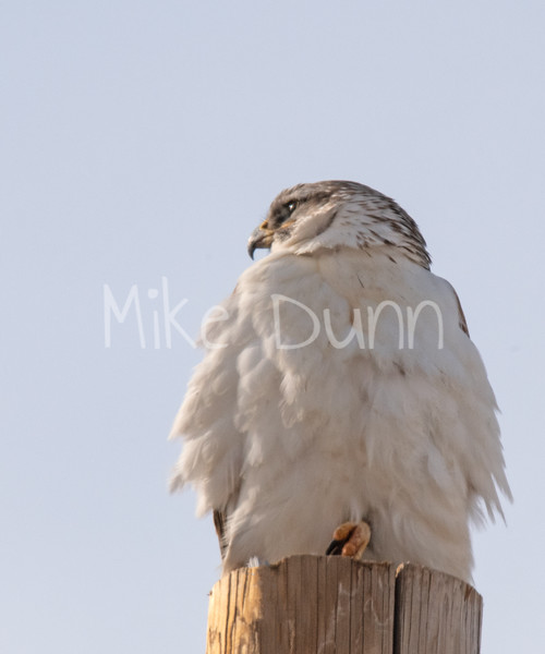 Ferruginous Hawk-36