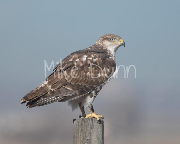Ferruginous Hawk-88