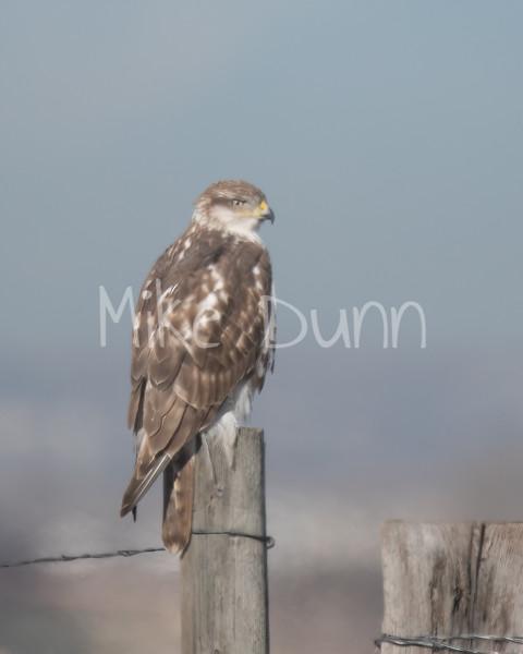 Ferruginous Hawk-85