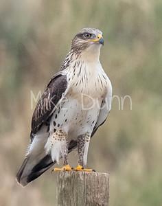 Ferruginous Hawk-211