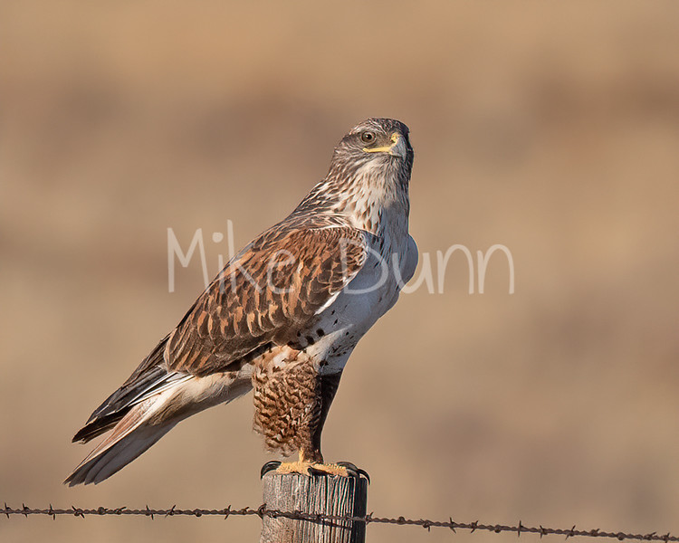 Ferruginous Hawk-184