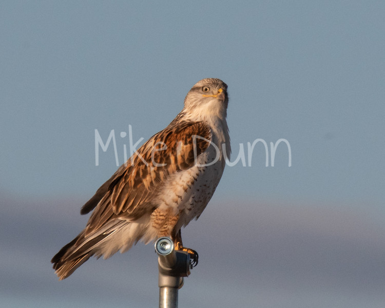 Ferruginous Hawk-38