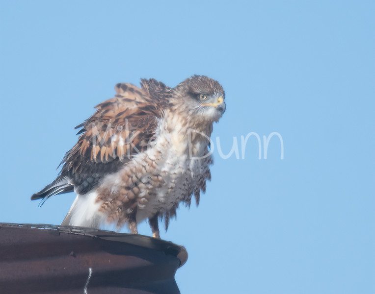Ferruginous Hawk-120