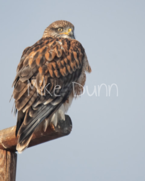 Ferruginous Hawk-127